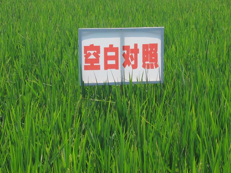辽宁水稻价格_水稻图片大全-高产水稻新品种,水稻图片简笔画图片,成熟水稻