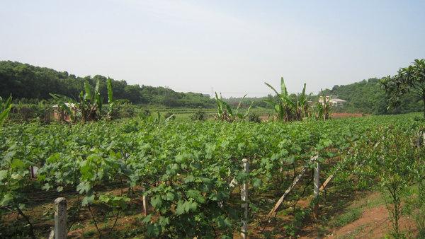 南方葡萄开花期到采果前后病虫害防治