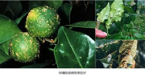 柑橘19种病害危害症状清晰图片与防治措施介绍