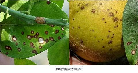 3,柑橘炭疽病