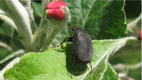 切实抓好早春苹果树萌芽开花前病虫害综合治理