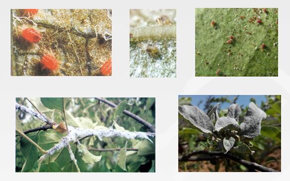 抓好苹果树开花前病虫害防治工作